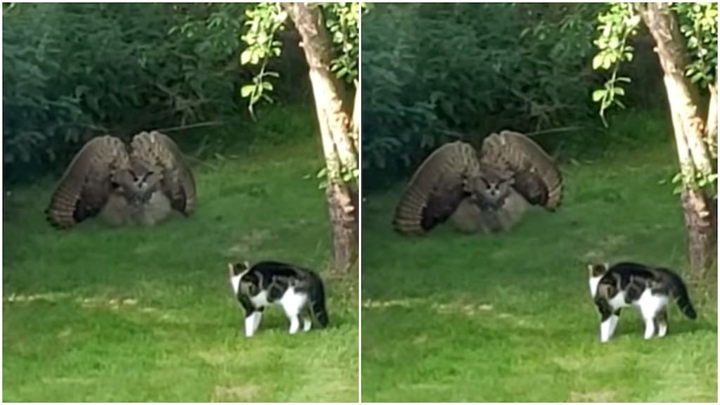 A Startled Owl Puffs Up to Appear Much Larger In Order to Intimidate an Equally Defensive Family Cat
