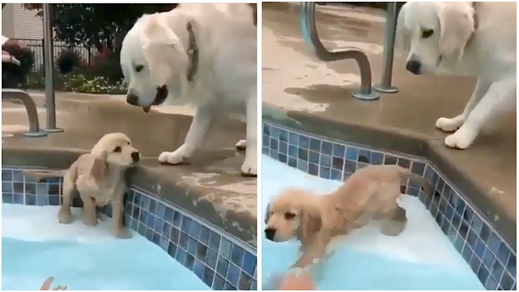 An Adorable Puppy Bravely Learns to Swim Under Watchful Eye of Their Concerned Pacing Mother