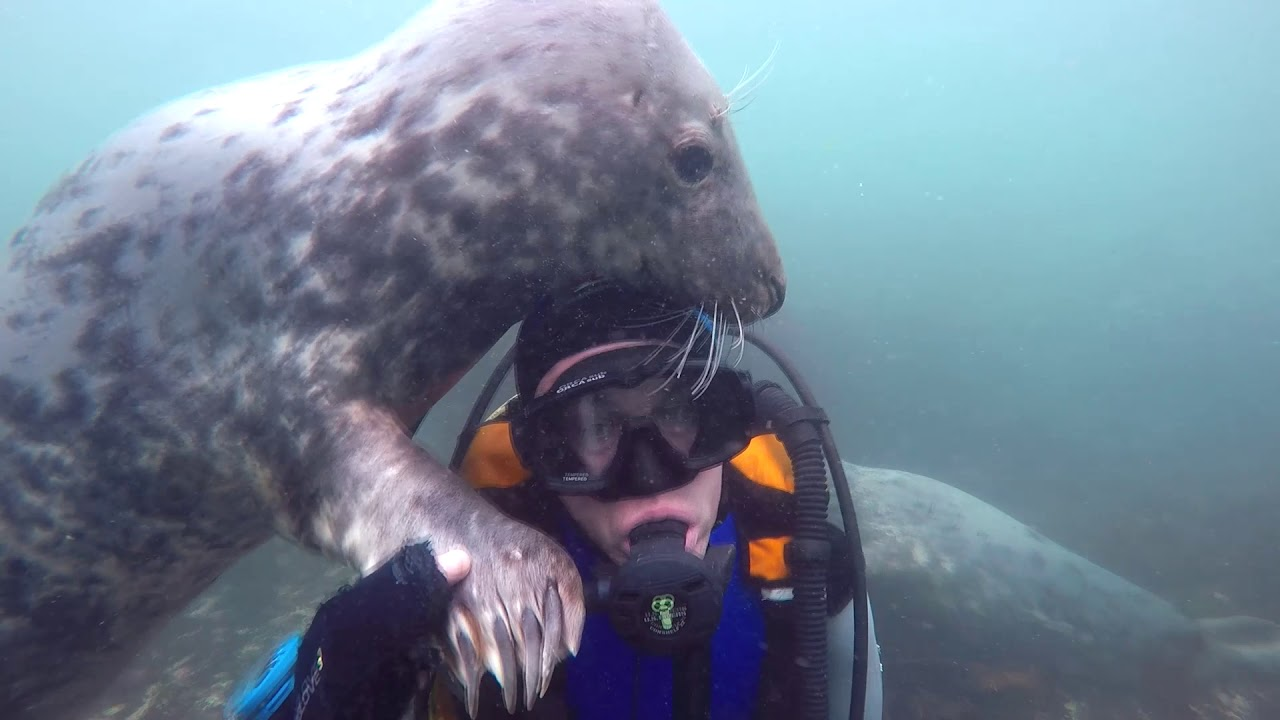 Curious Seals Thoroughly Investigate a Visiting Diver