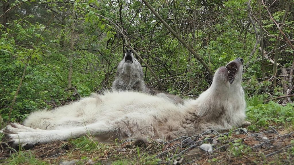A Pair of Lazy Gray Wolves Howl While Lying Down