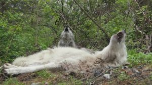 Wolves Howl While Lying Down