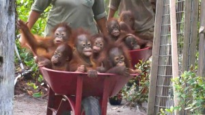 Baby Orangutans in Wheelbarrows