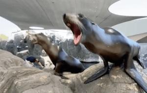 Barking Contest Sea Lions