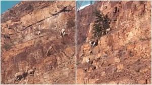 Bighorn Sheep Scale Montana Mountain