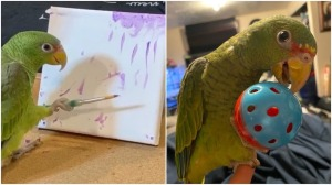 Binx the Spectacled Amazon Parrot
