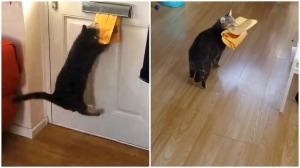 Cat Leaps to Retrieve Package