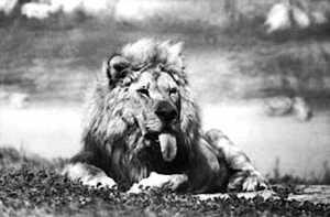 Frasier the Lion