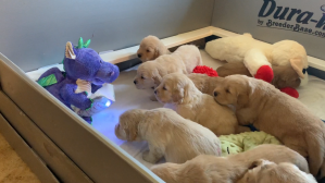 Golden Retriever Puppies Enjoying Story Time From a Dragon