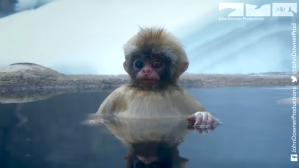 Robot Spy Monkey Enjoys A Spa With Snow Monkeys