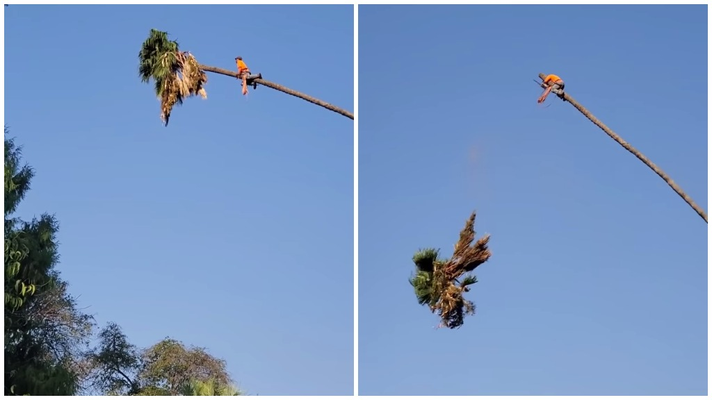 Daring Arborist Takes a Terrifying Ride on a Crooked Palm Tree After Chopping Off Its Top Heavy Fronds - laughing squid