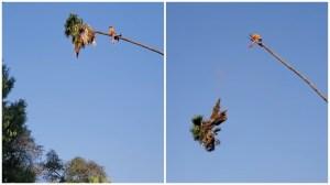 Arborist Climbs Palm Tree