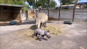 Baby Rhino With Zoomies Runs Circles Around Her Mum