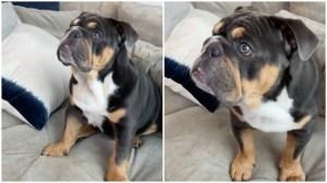 Bulldog Growls at TV Dog
