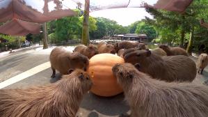 Capybara eat huge pumpkin