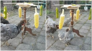 Chicken Exercise Wheel