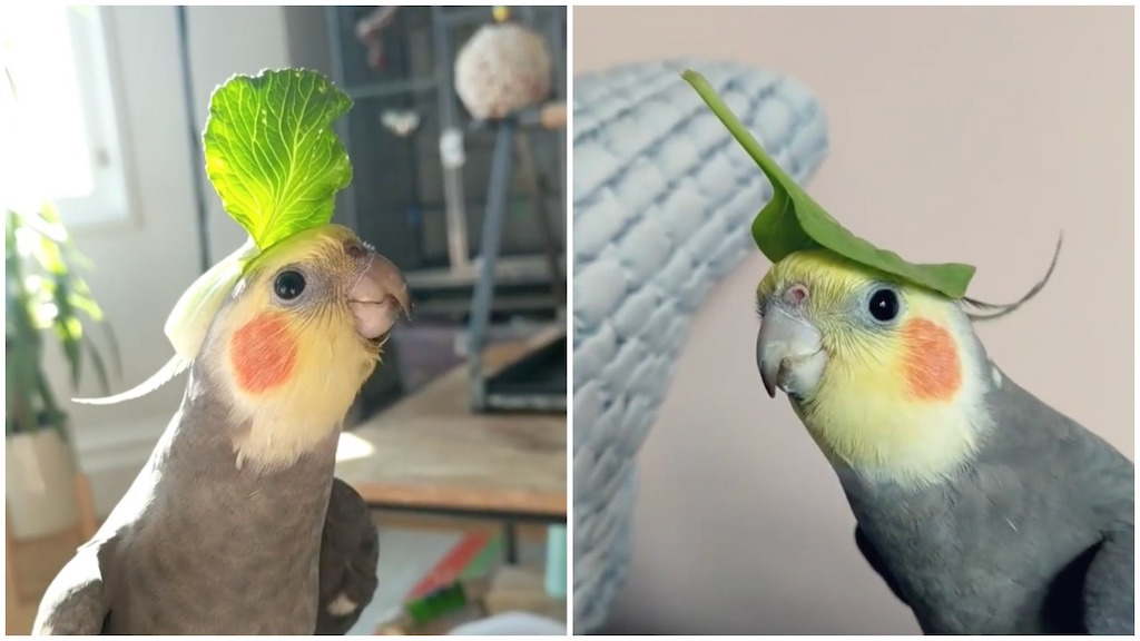Happy Cockatiel Sings With Veggies on His Little Head