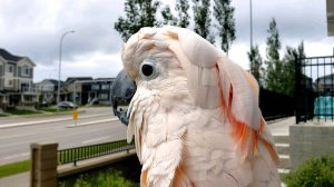 Cockatoo Clucks Like Chicken