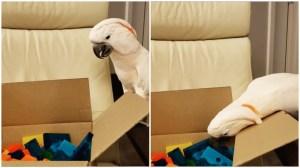 Cockatoo Helps Human Unpack Blocks