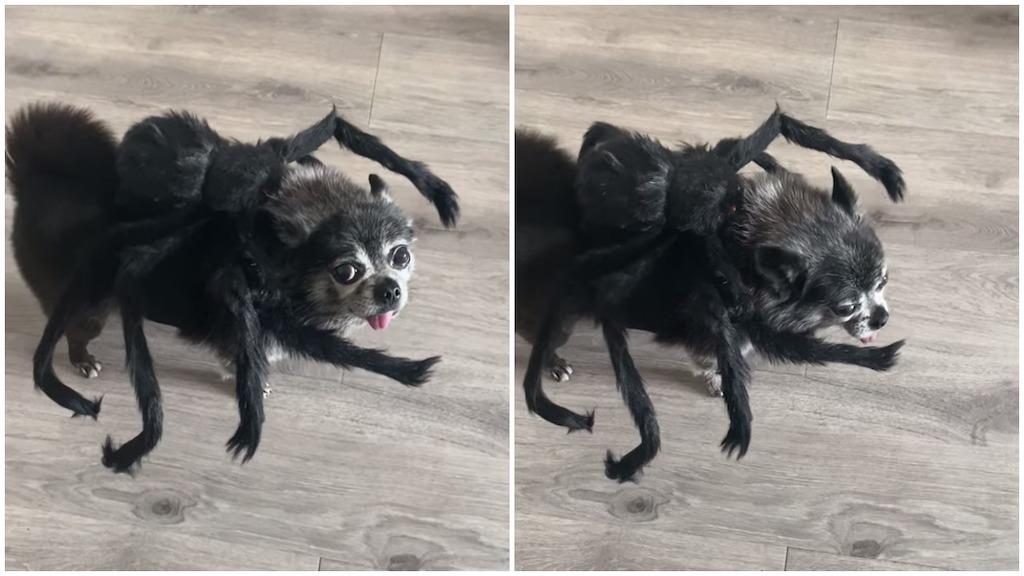 Dog in Spider Costume