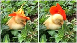 Drowsy Duckling Falls Asleep Under Flower