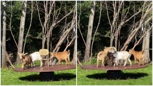 Goats on Merry Go Round