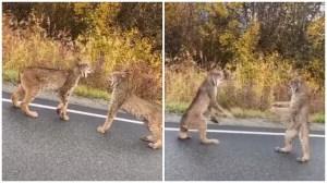Lynx Confrontation