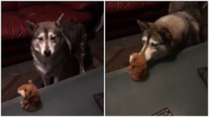 Malamute Conversation With Talking Toy Hamster