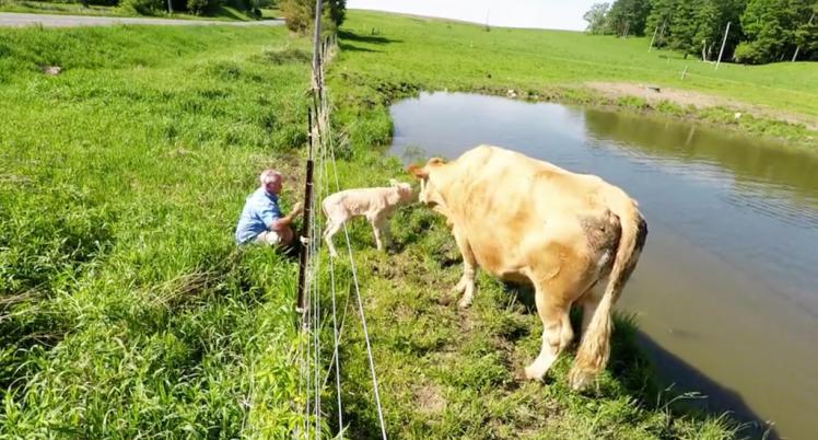 Man Helps Cow Retrieve Calf from Fence