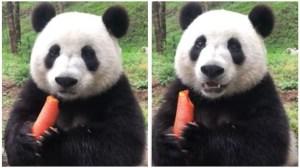 Panda Chomps Loudly Carrot