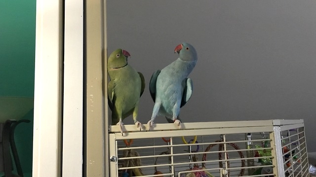 A Pair of Chatty Parakeet Brothers Engage in an Adorably Squeaky Conversation With Each Other