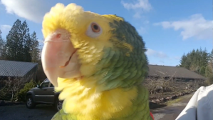 Parrot Loves to Sing Opera