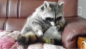 Raccoon Sits Upright to Eat Grapes