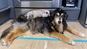 Regan the piglet sleeps on Ellie Dogs Back