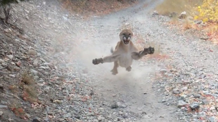 Angry Cougar Stalks Photographer