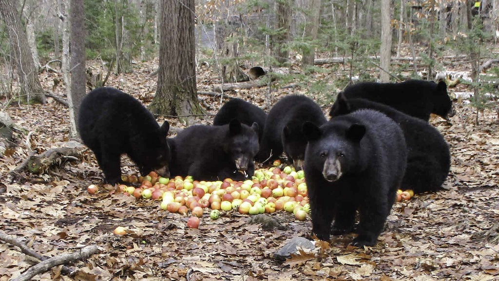 Orphaned Black Bear Cubs Make Collective Sounds of Contentment While Gleefully Eating a Pile of Apples