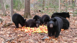 Bears With Apples