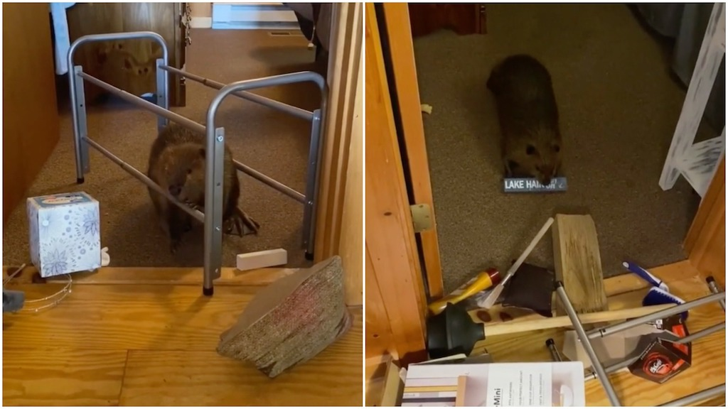 Busy Baby Beaver Builds Dam Inside Rescuer's House Using an Amusing Variety of Household Objects - laughing squid
