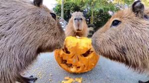 Capybaras eat jackolantern