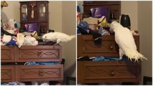 Cockatiel Empties Sock Drawer
