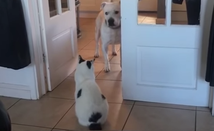 A Territorial Older Cat Silently Prevents a Younger Dog From Passing Through Doorway