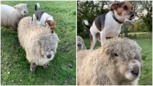 Little Dog on Big Sheep