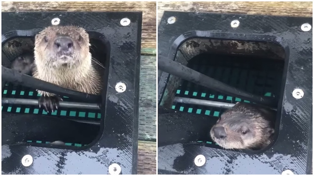 Curious Family of Otters Poke Their Heads Out of a Hiding Place Like the Moles in a Whack-a-Mole Game