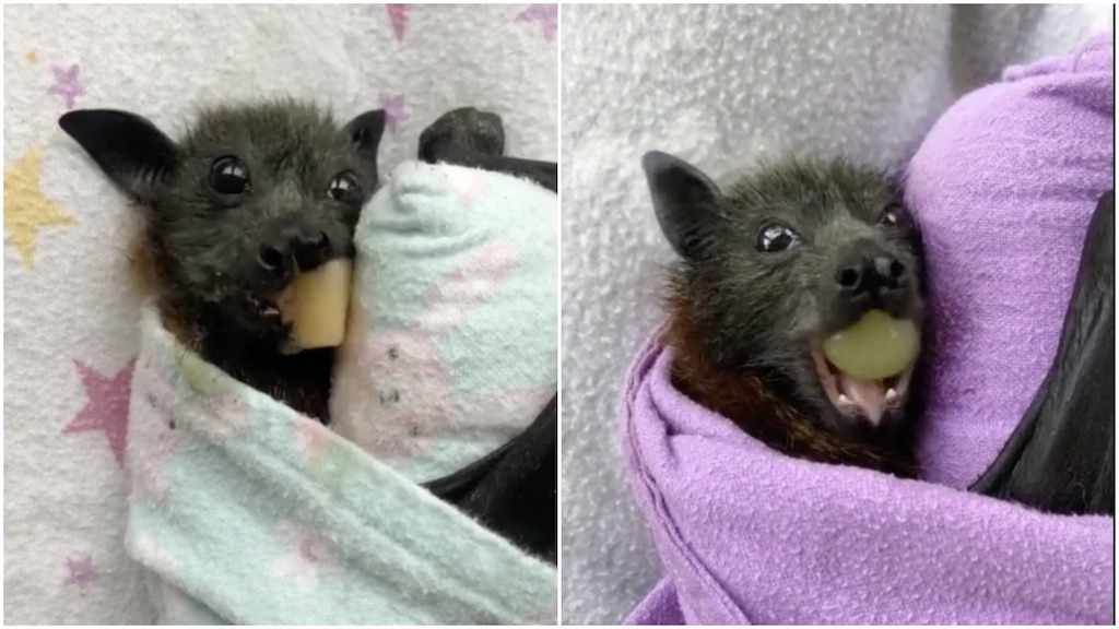 Rescued Flying Foxes Sample Fruit