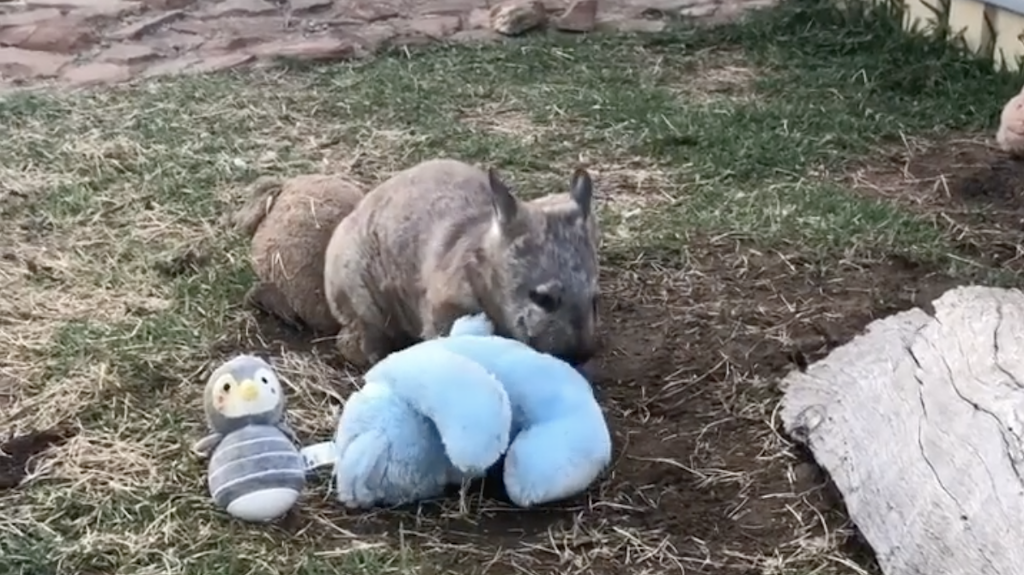 Rescued Wombat Plays With Toys