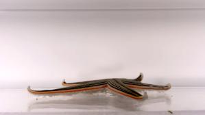 Starfish Gallop