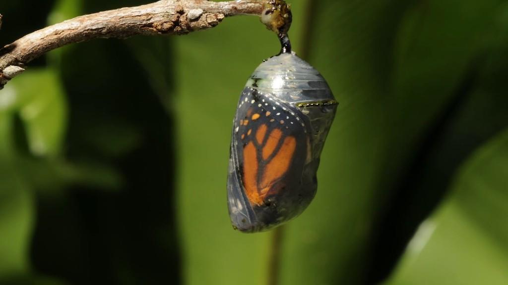 Butterfly in Cocoon