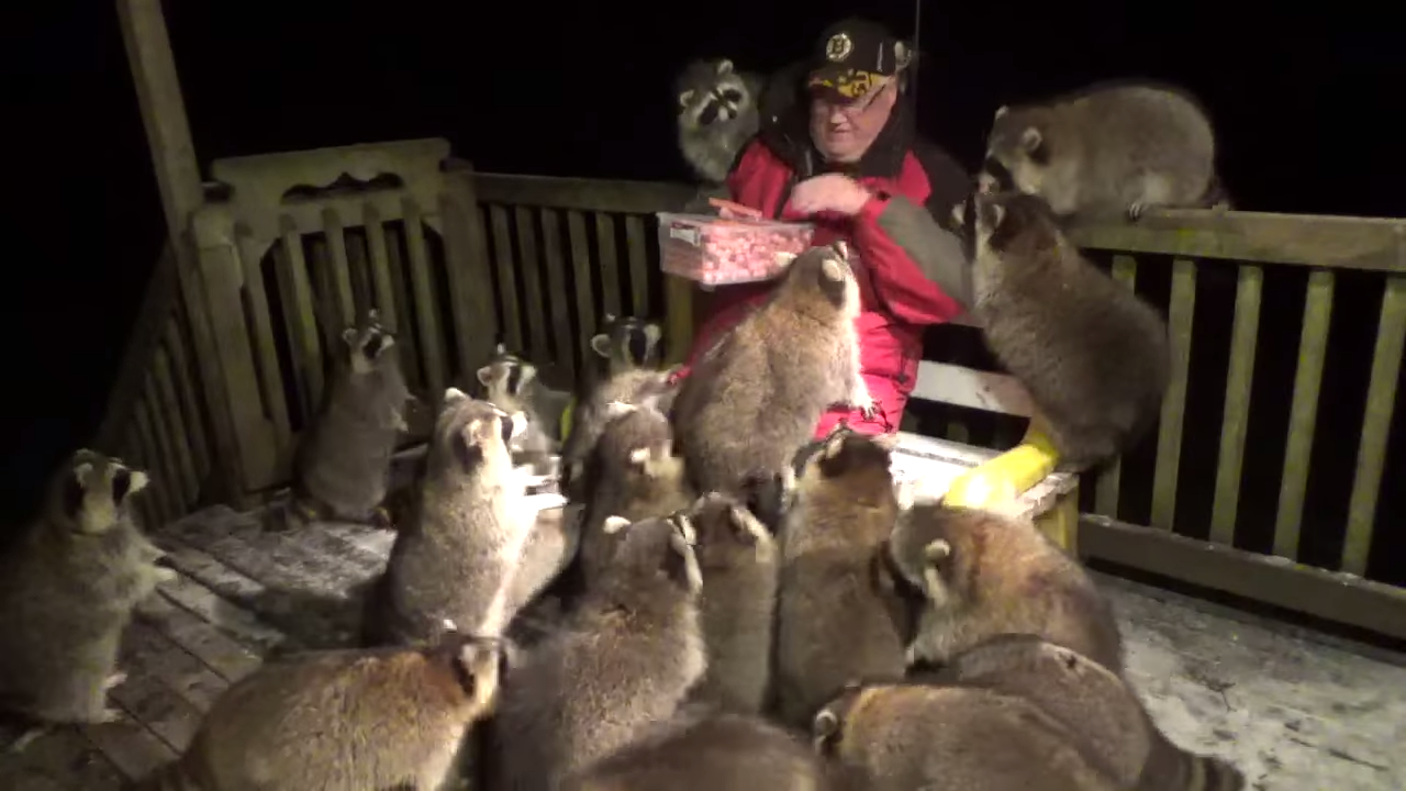 Kind Man Gets Adorably Mobbed by Raccoons While Feeding Them Hot Dogs on a Cold Nova Scotia Night
