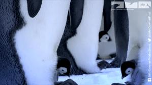 RoboSpy Penguin Captures The Birth Of Emperor Penguin Chicks