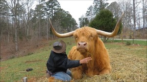 Grooming Highland Cow