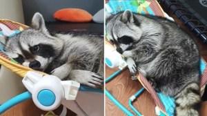 Raccoon Falls Asleep In Baby Bouncer